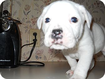 Boxer/Terrier (Unknown Type, Medium) Mix Puppy for adoption in springtown, Texas - Spike