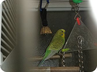 Parakeet - Other for adoption in Neenah, Wisconsin - Donna & Teddy