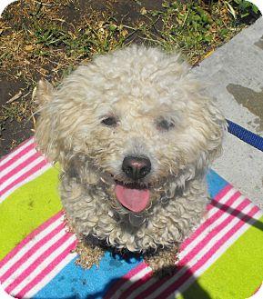 Maltese/Poodle (Standard) Mix Dog for adoption in Santa Ana, California - Summer
