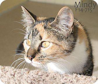 American Shorthair Kitten for adoption in Tiffin, Ohio - Mindy