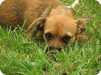 Cairn Terrier/Cavalier King Charles Spaniel Mix Puppy for adoption in Rochester, New York - JJ