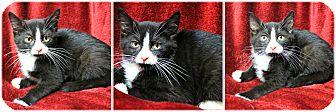 Domestic Shorthair Kitten for adoption in Forked River, New Jersey - Killian