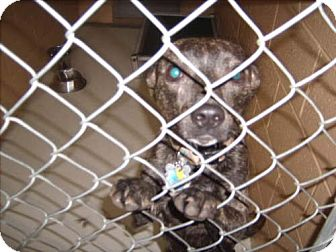 Pit Bull Terrier/Boston Terrier Mix Dog for adoption in Newburgh, Indiana - Harley D