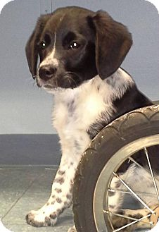 Beagle/Border Collie Mix Puppy for adoption in Point Pleasant, Pennsylvania - ROCCO-PENDING