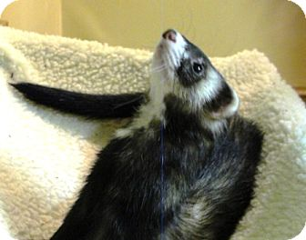 Ferret for adoption in Hartford, Connecticut - Charlie