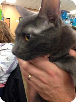 Domestic Shorthair Cat for adoption in San Ramon, California - Mike