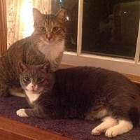 Domestic Shorthair Cat for adoption in Herndon, Virginia - Tony (& Boots)