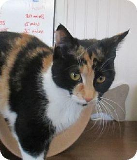 Domestic Shorthair Cat for adoption in Lloydminster, Alberta - Cora