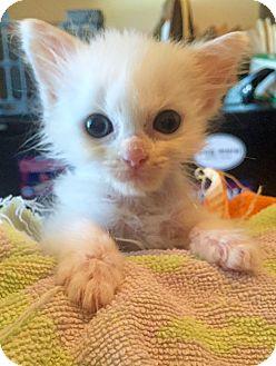 Domestic Shorthair Kitten for adoption in Saint Clair, Missouri - Mr. T