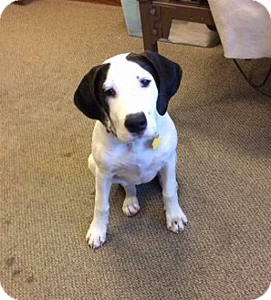 Hound (Unknown Type)/Pointer Mix Puppy for adoption in Sinking Spring, Pennsylvania - Ozzie