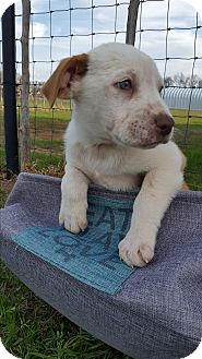Blue Heeler/Collie Mix Puppy for adoption in Weatherford, Texas - Hercules