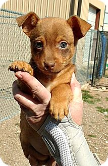 Terrier (Unknown Type, Small)/Shepherd (Unknown Type) Mix Puppy for adoption in Boulder, Colorado - Rascal