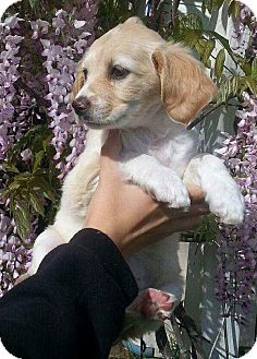 Cocker Spaniel Mix Puppy for adoption in Santa Barbara, California - Minnie Mia