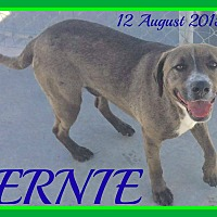 Weimaraner/Labrador Retriever Mix Dog for adoption in Jersey City, New Jersey - ERNIE