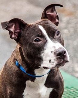 Pit Bull Terrier Mix Dog for adoption in Port Washington, New York - Pablo
