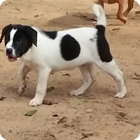 Adopt A Pet :: Ozzie - Pikeville, MD