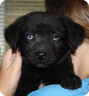 Labrador Retriever/Collie Mix Puppy for adoption in Southbury, Connecticut - Pugsley