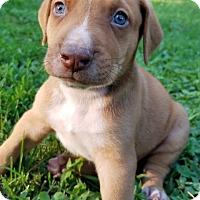 Labrador Retriever Mix Puppy for adoption in Alexandria, Virginia - Ortho (Roman Rulers)