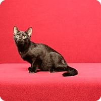 Domestic Shorthair Cat for adoption in Cary, North Carolina - Lucky Spencer