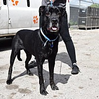 Adopt A Pet :: Blackie - Uwchland, PA