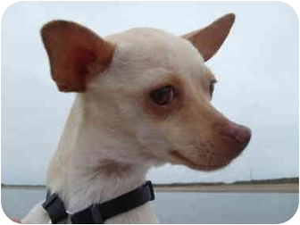 Chihuahua Mix Dog for adoption in San Diego, California - Angie