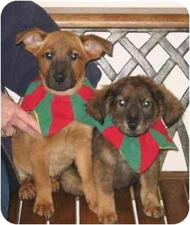 Belgian Tervuren/Labrador Retriever Mix Puppy for adoption in East Rockaway, New York - Hazelnut & Cashew