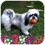 Photo 1 - Lhasa Apso Dog for adoption in Los Angeles, California - CARINA