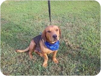 Basset Hound/Beagle Mix Dog for adoption in Harrisonburg, Virginia - Mr.T