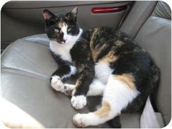 Calico Cat for adoption in Trevose, Pennsylvania - Tee Tee