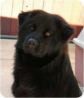 Golden Retriever/Chow Chow Mix Dog for adoption in El Segundo, California - Bear