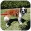 Photo 2 - St. Bernard Dog for adoption in Bellflower, California - Levi