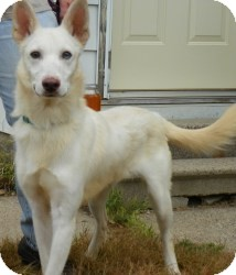 German Shepherd Dog/Husky Mix Dog for adoption in Minneapolis, Minnesota - Cloud