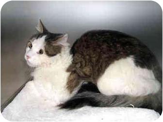 Domestic Mediumhair Cat for adoption in San Clemente, California - HUMPHREY = Shy but Sweet