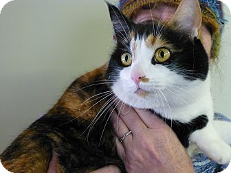 Calico Cat for adoption in Quincy, California - Patches