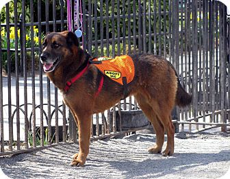 Shepherd (Unknown Type) Mix Dog for adoption in Jersey City, New Jersey - Princess Mia Thermopolis