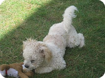 Miniature Poodle/Terrier (Unknown Type, Small) Mix Dog for adoption in Tumwater, Washington - Teddy Bear
