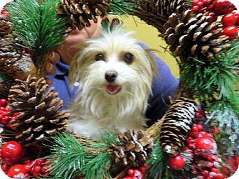 Maltese/Yorkie, Yorkshire Terrier Mix Dog for adoption in Covina, California - Ginger