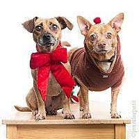 Chihuahua Mix Dog for adoption in San Diego, California - Lita & Lata