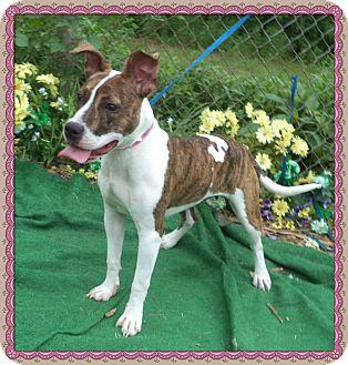 Bull Terrier/Labrador Retriever Mix Dog for adoption in Marietta, Georgia - ABBY