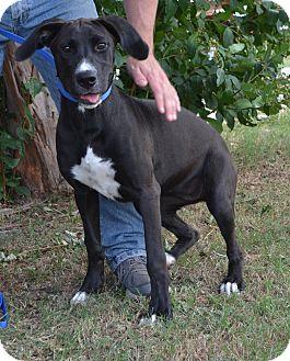 Great Dane/Pointer Mix Dog for adoption in Cleburne, Texas - MCKENNA