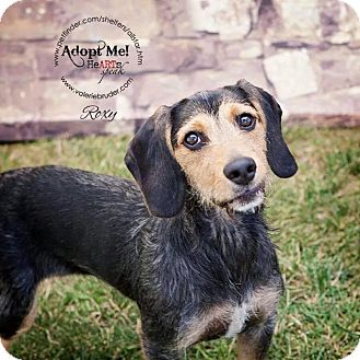 Beagle/Petit Basset Griffon Vendeen Mix Dog for adoption in Linden, New Jersey - Roxie
