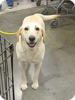 Labrador Retriever Dog for adoption in Crowley, Louisiana - LUCY