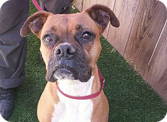 Boxer Mix Dog for adoption in Los Angeles, California - BAILEY