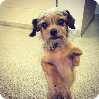 Yorkie, Yorkshire Terrier Mix Dog for adoption in Troy, Ohio - Applesauce