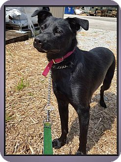 Cattle Dog Mix Puppy for adoption in LaGrange, Kentucky - LACY
