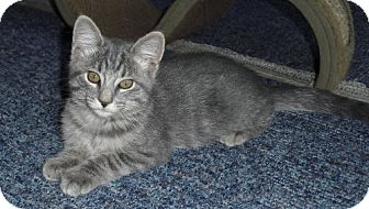 Domestic Shorthair Kitten for adoption in Lisbon, Ohio - Jamie - ADOPTED!