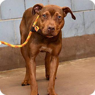 Hound (Unknown Type) Mix Dog for adoption in Chicago, Illinois - Merlot