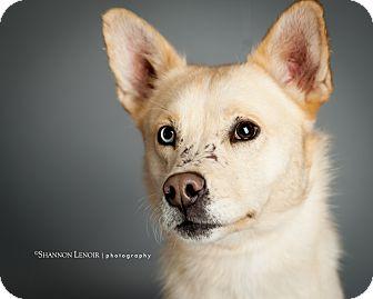 Siberian Husky/Labrador Retriever Mix Dog for adoption in Eden Prairie, Minnesota - Buster