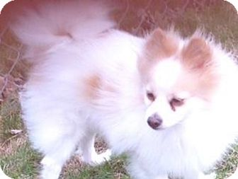 Pomeranian Dog for adoption in Union Grove, Wisconsin - Muffin-PENDING ADOPTION