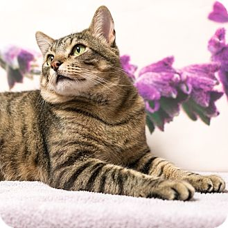 Domestic Shorthair Cat for adoption in Houston, Texas - Bronson